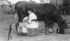 Woman milking a cow, State Agricultural College (now Colorado State University), circa 1921. (via)