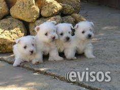 espectaculares cachorros westy  hermosos y saludables cachorritos weesty garantizados vacunados y desparasitados con su certificado ...  http://bogota-city.evisos.com.co/espectaculares-cachorros-westy-id-432558