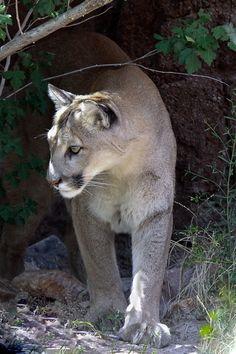 Mountain Lion taken at the Arizona - Sonora Desert Museum Tucson, Arizona.