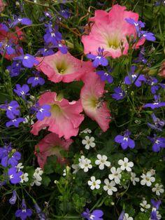 a good combination of petunias , Lobelia and bacopa.