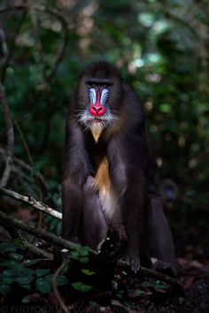 Male Mandrill, South Eastern Gabon's Rainforest. See more on http://facebook.com/giovanni.mari.photography