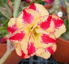 28 Best Adeniums - Desert Rose images in 2019 | Desert rose, Braid