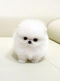 Zee wee cottonball dog