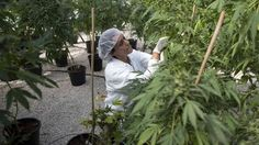 Ontario, Canada: Commercial Marijuana Plant Eager to Fire Up Production