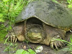 SNAPPING TURTLE  / Chelydra serpentina on Fontenelle Forest Nature Search