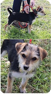 Tala | Hermitage, TN - Yorkie, Yorkshire Terrier/Jack Russell Terrier Mix. Meet #Tala a puppy for adoption. #DoginghamPalaceRescue http://www.adoptapet.com/pet/17459441-hermitage-tennessee-yorkie-yorkshire-terrier-mix