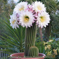 Echinopsis Spachiana. A splendid blooming specimen.