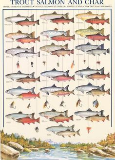 A great poster that will help you identify your fish when you're out fly fishing for Steelheads and Chinooks! Trout, Salmon, and Char. Fully licensed. Ships fas