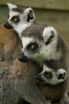 Ring Tailed Lemur from Madagascar, Africa. Travel to Madagascar with ISLAND CONTINENT TOURS DMC. A member of GONDWANA DMCS, your network of boutique Destination Management Companies for travel across the globe - www.gondwana-dmcs.net