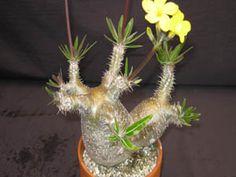 Pachypodium rosulatum 'Gracilis'