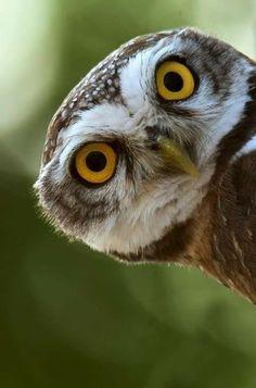 Burrowing Owl, Barred Owl, Animals And Pets, Funny Animals, Cute Animals, Beautiful Owl, Animals Beautiful, Owl Bird, Pet Birds