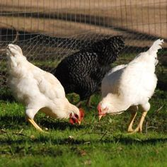 Why We Raise Meat Animals and Birds