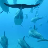 Freediving with Dolphins – Awesome Video of Hawaiian Spinner Dolphins