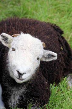 Lovely Herdwick sheep -- hey there sweet pea!