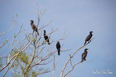 Foto de biguá o cormorán negro