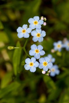 Photographic Print: Forest forget-me-not, Myosotis sylvatica, Murnau, Bavaria, Germany by Christian Zappel :