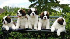 St Bernard pups are gorgeous! https://sphotos-a.xx.fbcdn.net/hphotos-ash4/429148_516781011677448_1893529241_n.jpg