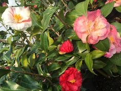 Mrs. Lyman Clarke/Lady Vansittart Camellia http://www.bloomingandbeautiful.com/Mrs-Lyman-ClarkeLady-Vansittart-Camellia-P12358.aspx