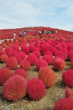 Hitachi Seaside Park Turns Red in Autumn
