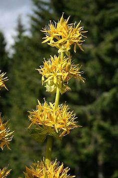Voici27 plantes qui possèdent d'importantes propriétés médicinales et que vous pouvez faire pousser chez vous : 1 – Aloe Vera L'aloe vera ne pousse que so