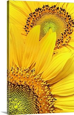 """Yellow Art - """"Sunflower Pair"""" wall art by Mike Moats available at Great BIG Canvas. : Yellow Art - """"Sunflower Pair"""" wall art by Mike Moats available at Great BIG Canvas. Sunflowers And Daisies, Yellow Flowers, Sun Flowers, Yellow Art, Mellow Yellow, Wall Art Prints, Framed Prints, Canvas Prints, Big Canvas"""