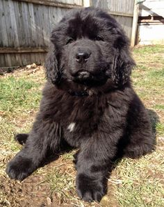via the daily puppy  Puppy Breed: Newfoundland  Beorn is a Newfoundland puppy. His sweet, even temperament and gentle playfulness, not to mention his fluffy coat and teddy bear features, melted our hearts the moment we met him. Complete with webbed paws, he is born to swim; but so far has only been taking dips in his water bowl!