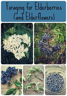 Learn all about foraging for elderberries and elderflowers, both have awesome edible and medicinal qualities! Elderberry And Elderflower, Elderberry Plant, Elderberry Recipes, Elderberry Syrup, Elderberry Growing, Elderberry Flower, Healing Herbs, Medicinal Plants, Natural Healing
