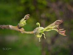 Buds of Persian walnut tree Spring Green, Bud, Persian, Greenery, Nature Photography, Persian People, Persian Cats, Nature Pictures, Wildlife Photography