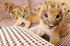I would love to have these little guys to frolic with.  That is, till they got bigger ; )