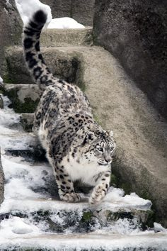 Snow Leopard VI by OrangeRoom.deviantart.com on @deviantART