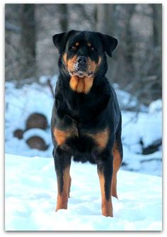 Welcome To Greendale Rotts Rottweilers, Buffy, Dogs, Animals, Animales, Animaux, Rottweiler, Pet Dogs, Doggies