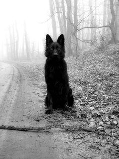 All-black German Shepherd