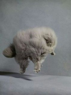 Fluffy cat in a stiff wind