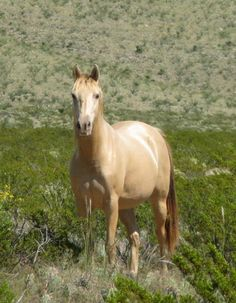 A half-Arabian amber champagne (bay + champagne) mare, photo by Cascabel Ranch Performance Horses