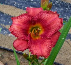 Daylily Plant for Sale, Seedling (149)