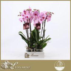 photostock   Phalaenopsis LEVO