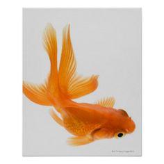 zwemmende goudvissen - Αναζήτηση Google