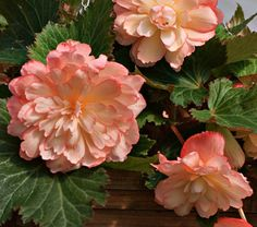 """Begonia Scentiment® Sunrise - White Flower Farm  Common Name: Tuberous Begonia  Hardiness Zone: 1-11 S / 1-11 W  Height: 10""""+  Fragrance: Yes  Exposure: Full or Part Shade  Blooms In: June-Oct  Spacing: 18""""  Ships as: Bulb"""