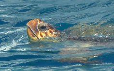 Turtle in Zante, Greece!