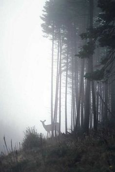 deer in a foggy forest.A deer in a foggy forest. Foggy Forest, Misty Forest, Forest Path, Magical Forest, Wild Forest, Conifer Forest, Forest Girl, Forest House, Johanna Basford Enchanted Forest
