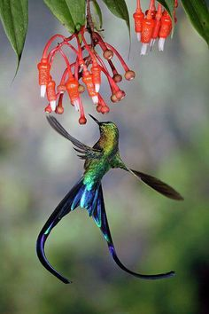 The Violet-tailed Sylph (Aglaiocercus coelestis) is a species of hummingbird. It is found in Colombia and Ecuador.  Males average around 7 inches (180 mm) in length, while females average around 3.8 inches (97 mm).