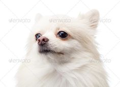 Realistic Graphic DOWNLOAD (.ai, .psd) :: http://vector-graphic.de/pinterest-itmid-1006773574i.html ... White pomeranian ...  Spitz, adorable, canis, charm, cute, dog, domestic, dwarf, fluffy, funny, furry, grooming, isolated, looking, pet, pom, pomeranian, pup, puppy, side, sit, staring, studio, up, white, young  ... Realistic Photo Graphic Print Obejct Business Web Elements Illustration Design Templates ... DOWNLOAD :: http://vector-graphic.de/pinterest-itmid-1006773574i.html