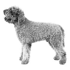 Lagotto Romagnolo breed standard: Small to medium-sized dog, well proportioned, powerfully built, of a rustic appearance, with a dense, curly coat of woolly texture. The dog should give the impression that he has the strength and endurance to work all day in difficult and challenging terrain.