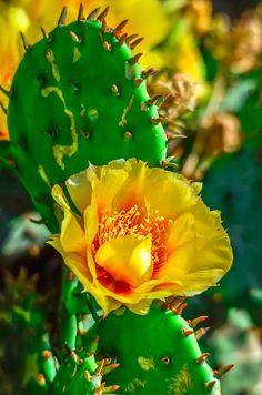 Yellow Cactus Flower Perennials Yellow cactus flower - gelbe kaktusblüte - fleur de cactus jaune - f Exotic Plants, Exotic Flowers, Beautiful Flowers, Desert Flowers, Cacti And Succulents, Planting Succulents, Planting Flowers, Flower Plants, Cactus E Suculentas