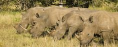 Rhino Safari in South Africa www.brilliantsouthafrica.com Zululand KwaZulu-Natal