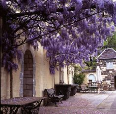 I think this is wisteria, which I've heard can become the climber that ate the pergola (or the house). It's breathtaking, though.