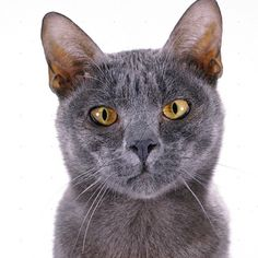Korat Cat - http://catbreedsinformation.com/korat-cat/ The Korat Cat, originally from Thailand, is a medium sized, short coated cat breed that has become quite popular among cat fans around the world.This cat breed may also be known as Si-Sawat in some locations.The Korat Cats are said to have quite the personality. Their owners have said that they are often quiet, gentle, and intelligent.Owners can expect to spend many years with their Korat Cat. They are said to live betwe