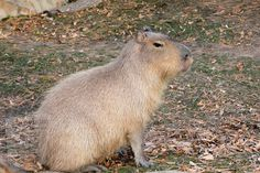 Capybara, Animal House, Rodents, Made Goods, Exotic Pets, Guinea Pigs, Predator, Hanging Out, South America