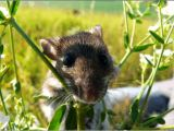 A deer mouse - Asia Murphy - My Journey into the Depths of Science. Kingdom 3, Animal Kingdom, Science And Nature, Geology, Animals Beautiful, Deer, Asia, Journey, Cutest Animals
