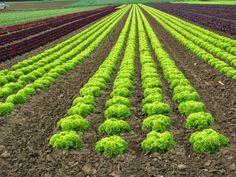 Vegetable Garden Design, Vineyard, Home And Garden, Organic, Vegetables, Plants, Outdoor, Beautiful, Blog